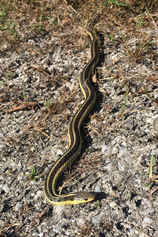 Garter snakes in your garden | The Charlotte News