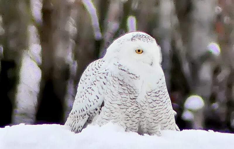 Snowy owl in Shelburne.Photo by Lee Krohn
